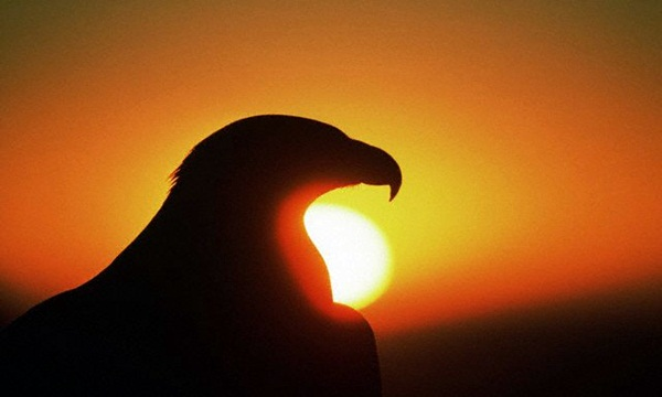 Golden Eagle at Sunrise